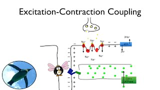 It's Exciting!  It's Excitation-Contraction Coupling!
