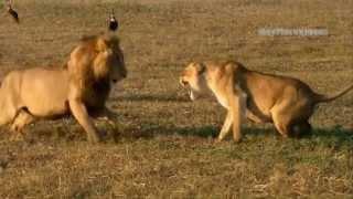 اقوى واروع مشاهد الافتراس في عالم الحيوان في هذا الفيديو