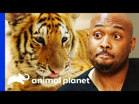 Examining A Feisty Pet Tiger Found Wandering The Streets The Vet Life