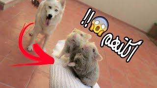 شوفوا وش سوت كلبتي روزي في الهامستر 🐹 !!