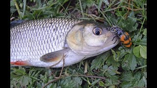 2017 fishing for chub using lures
