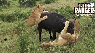 Incredible Lion Vs Buffalo Encounter In South Africa