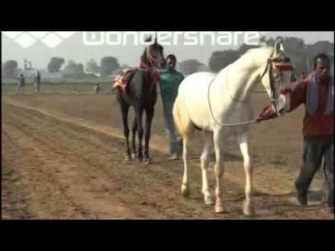 Xxx Mp4 Marwari Horse Punjab Nukra Horse Race Punjab 3gp Sex