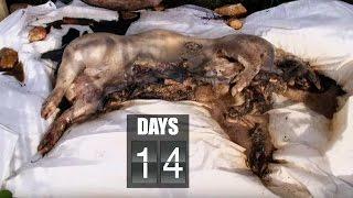 Time Lapse Pig Decomposition - Secrets of Everything - Brit Lab - BBC