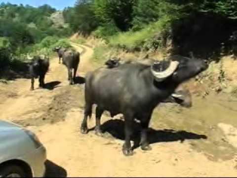 mandalar water buffalos gökbel yenice karabük türkiye
