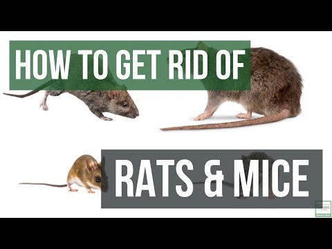 How to Get Rid of Rats and Mice Guaranteed 4 Easy Steps