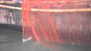 Live Ilish (Hilsha) fish from Chandpur