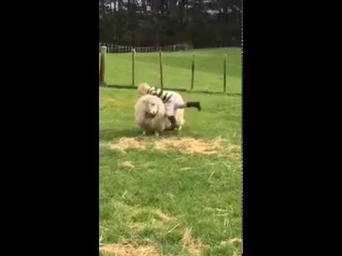Xxx Mp4 Litle Kid Riding Sheep Funny 3gp Sex