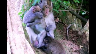 Big boy small girl monkey they are playing Angkor daily 1559