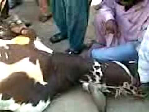 Cow Qurbani November 2009 Video by Arif .3gp