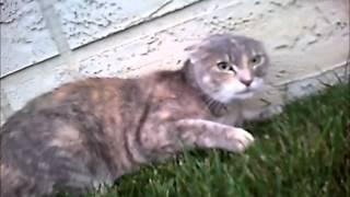 Pelea de gatos en primera persona (CollarCam)