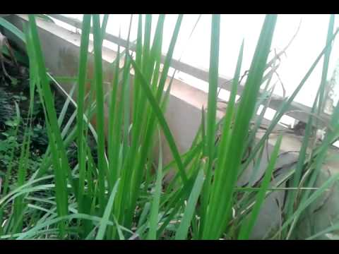Mytle Grass. Acorus calamus L. ว่านน้ำ