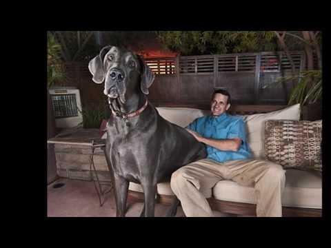 El Perro más Grande del Mundo The Greatest Dog World