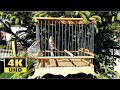 Goldfinch X Canary In 4k