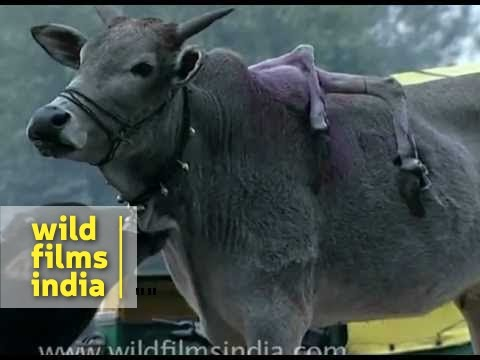 Xxx Mp4 Cow With SIX LEGS Only In India 3gp Sex