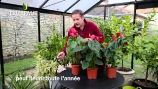 Cultiver et entretenir un anthurium - Jardinerie Truffaut TV