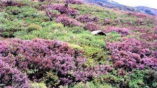 Neelakurinji flowers in Munnar   Next season August 2018 - October 2018