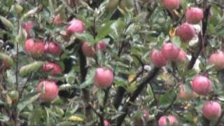 Apple trees in Hotel Rohtang Manalsu's garden, Manali