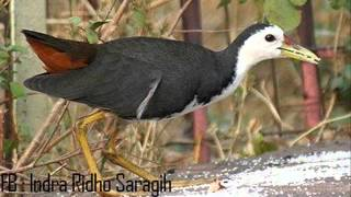 Suara Burung Ruwak Ruwak cocok untuk Mendekut dan memikat