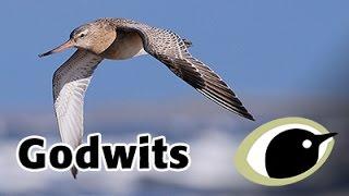 BTO Bird ID - Godwits