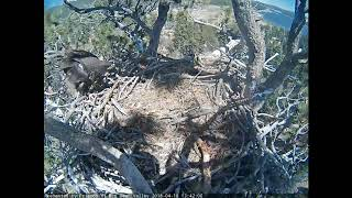 Big Bear Eagles - What a ham Stormy is - 04-18-18