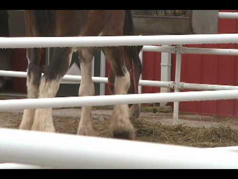 Xxx Mp4 Clydesdale Breeding Farm 3gp Sex
