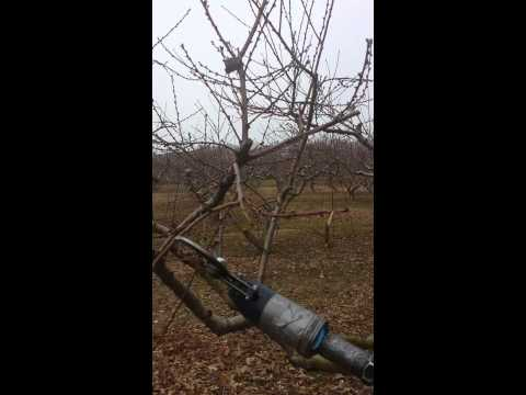 Podar arboles de duraznos