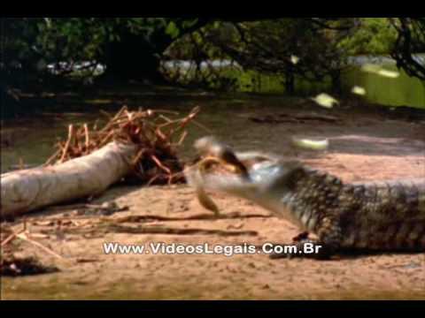 Jacaré ataca filhores de sucuri