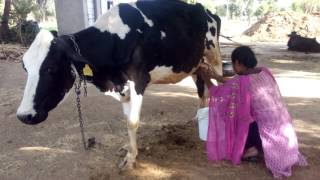 Oh! Amazing  How To Get Village Young Girl Cow Milking Video