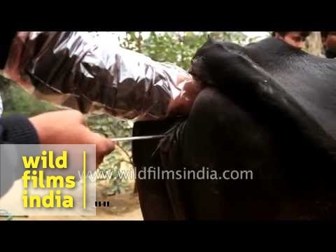 Xxx Mp4 Artificial Insemination Of A Cow In India 3gp Sex
