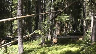 Bigfoot Responding With Perfectly Clear Whistles
