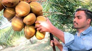 FARM FRESH Coconut water in My Village   TASTY WATER   VILLAGE FOOD