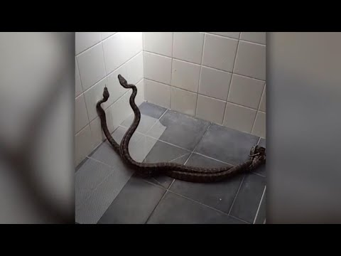 Mom Has Hilarious Reaction When She Finds Two Pythons Fighting In Her Shower