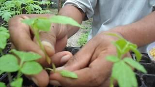 Penyambungan tomat