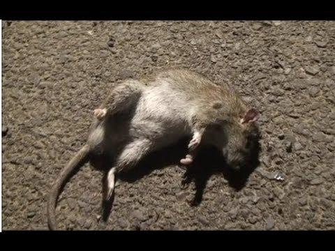 Air Rifle Ratting One Tough Rat