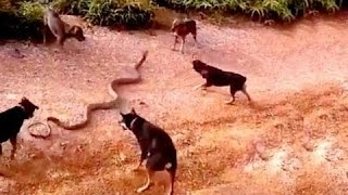 5 dogs attack a King cobra - dog vs cobra - dog kills snake Wild Nature
