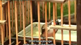 Phim Tài Liệu : Thú Chơi Chim Cảnh Của Người Hà Nội