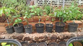 Grafted Avocados Tips and Timelines (Nishikawa, Sharwil, Lamb Hass strains)