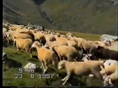 Qent autoktone Shqiptar 3