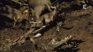 Vitesse mortelle dans la savane [Doc HD] - Guépard, Crocodile, Lion, Hyène, Aigle...