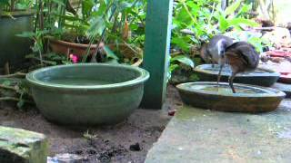 White-breasted Waterhen Chicks rescue: Bath and feeding time