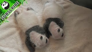 First pair of new-born panda twins this year