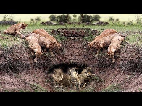 Harsh life of Wildlife 2018 Lion vs Warthog Let s Explore the Animal Planet 2019