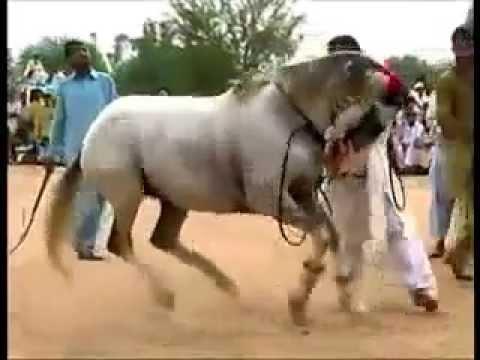 Azaad Kashmir mela Dadyal horse mela Pakistan horse dancing October 2013 champion