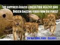 Download Video Download Unseen wild animal | Two happiness Asiatic lioness Four healthy cubs | Amazing video from Gir forest 3GP MP4 FLV