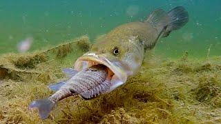 Do Bass Actually Eat Bluegills?? | GoPro Live Bluegill Footage Underwater