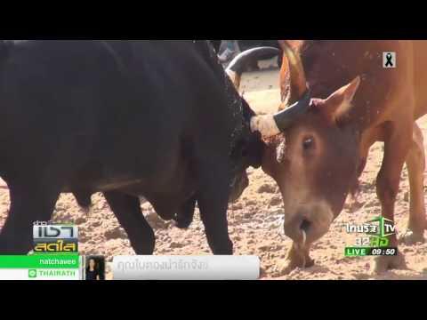 ศึกวัวชน คู่หยุดโลก 28 02 60 ข่าวเช้าสดใส