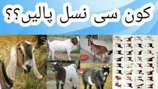 Goat farming in pakistan ( kon si nasal ki bakriyan palen ? )