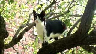 Hanumon the Feral Cat in a Pear Tree.