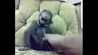 laughing monkey.mp4
